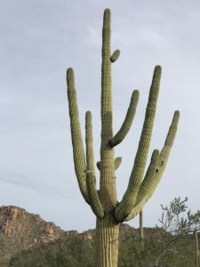 Tall-Cactus-in-Arizona
