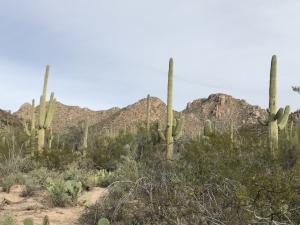 Cactus-in-Tucson-Arizona